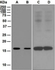 NBP1-95197 - ALOX5AP / FLAP