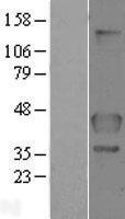 NBL1-10747 - FLCN Lysate