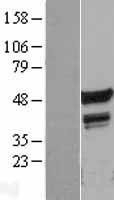 NBL1-10748 - FLI1 Lysate