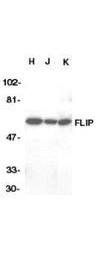 NBP1-77905 - CFLAR / Casper / I-FLICE