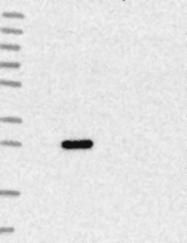 NBP1-87907 - C4orf43