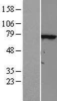 NBL1-17405 - FLJ13946 Lysate