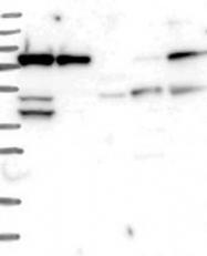 NBP1-89850 - RPAP3