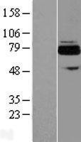 NBL1-07271 - FLJ21963 Lysate