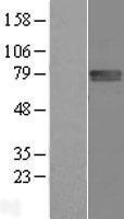 NBL1-10771 - FLRT1 Lysate