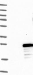 NBP1-86227 - FLYWCH2