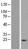 NBL1-10775 - FLYWCH2 Lysate