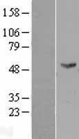 NBL1-10776 - FMO2 Lysate