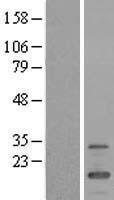 NBL1-10779 - FMR1NB Lysate