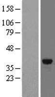 NBL1-10780 - FN3K Lysate