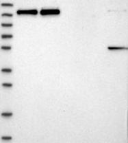 NBP1-87933 - PRPF40A / HIP10