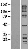 NBL1-10783 - FNBP4 Lysate
