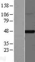 NBL1-10788 - FNTB Lysate