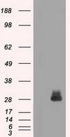 NBP1-47757 - Fos-related antigen 1