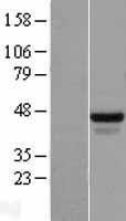 NBL1-15218 - FOX2 Lysate