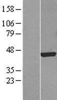 NBL1-10803 - FOXF1 Lysate
