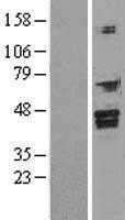 NBL1-10805 - FOXI1 Lysate