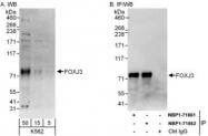 NBP1-71862 - FOXJ3
