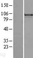 NBL1-10809 - FOXM1 Lysate
