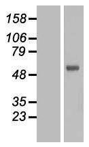 NBL1-10811 - FOXN2 Lysate