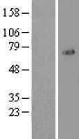 NBL1-10813 - FOXO1A Lysate