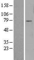 NBL1-10814 - FOXO3A Lysate