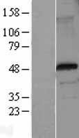 NBL1-10817 - FOXP3 Lysate