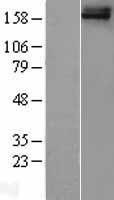NBL1-10830 - FREM1 Lysate