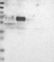 NBP1-81206 - FRMD5