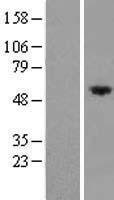 NBL1-10835 - FRMD8 Lysate