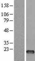 NBL1-10844 - FSH Lysate