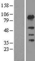 NBL1-10845 - FSIP1 Lysate