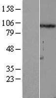 NBL1-10849 - FSTL5 Lysate