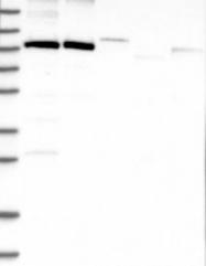 NBP1-83046 - FTSJD2