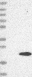 NBP1-81063 - FUNDC1