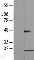 NBL1-10858 - FUNDC1 Lysate