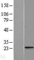 NBL1-10859 - FUNDC2 Lysate