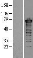 NBL1-10861 - FUS Lysate