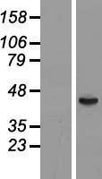 NBL1-10866 - FUT6 Lysate