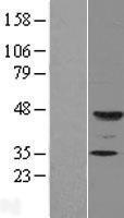 NBL1-10868 - FUT9 Lysate