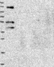 NBP1-82111 - Protein fuzzy homolog