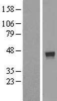 NBL1-10869 - FUZ Lysate