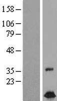 NBL1-10870 - FXC1 Lysate