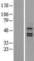 NBL1-13769 - NR1H4 Lysate