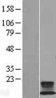 NBL1-10877 - FXYD2 Lysate
