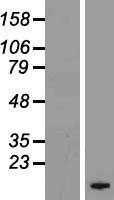 NBL1-10879 - FXYD4 Lysate