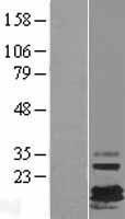 NBL1-10882 - FXYD7 Lysate
