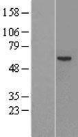 NBL1-10414 - Factor IX Lysate
