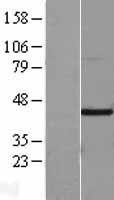 NBL1-11541 - Factor Inhibiting HIF-1 Lysate