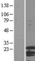 NBL1-10413 - Factor VIII Lysate